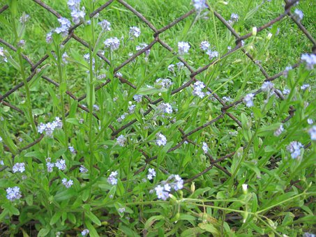 Forget-me Flowers, Spring, Fence, Flower, Meadow