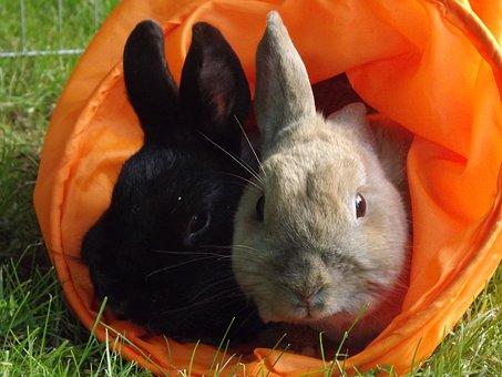 Rabbit, Munchkins, Pets