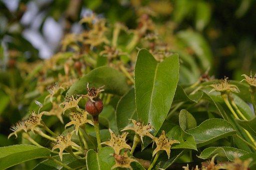 Pear Tree, Fruit Set, Pear, Leaves, Nature, Leaf, Green
