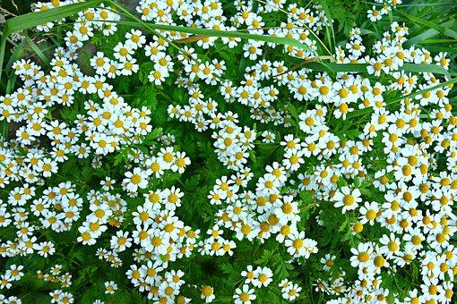 Daisy, Ox Eye Daisy, Flower, Field Of Flowers