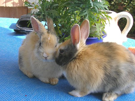 Rabbits, Hare, Pet, Munchkins, Couple, Pair, Males