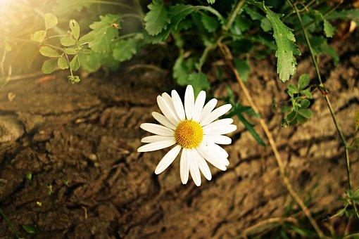 Ox-eye Daisy, Daisy, Flower, Plant, Bloom