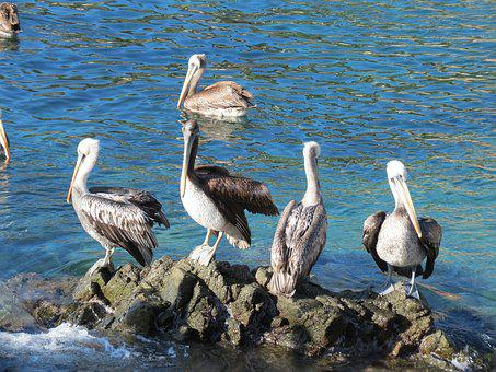 Pelicans, Sea, Rocks, Ave, Summer