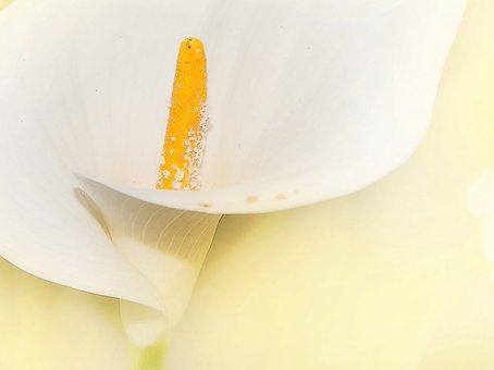 Spotted Calla, Zantedeschia Albomaculata, White Flower