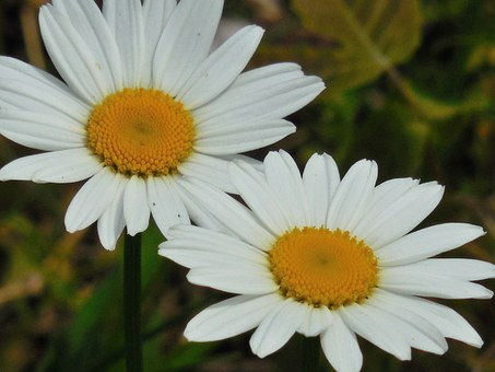 Flower, Daisy, Nature, Spring, White, Floral, Summer
