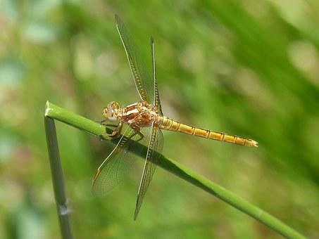 Dragonfly, Golden Dragonfly, Sympetrum Fonscolombii