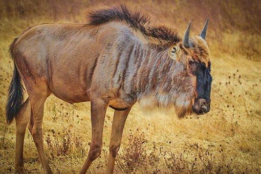 Wildebeest, Tanzania, Africa, Wildlife, Serengeti