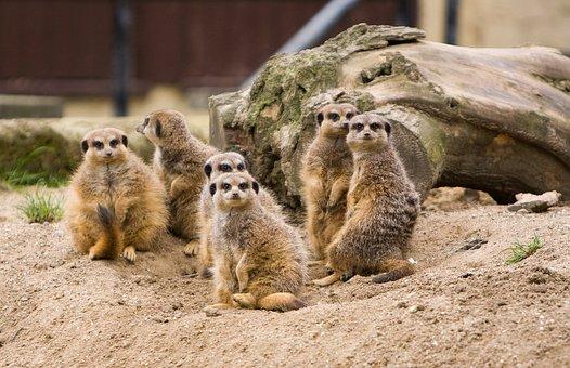Meerkat, Meerkats, Family, Group, Animal, Animals