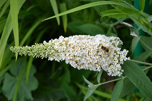 Buddleia, Buddleja, White, Flower, Sweet
