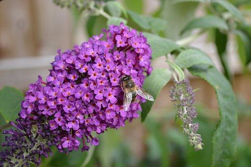 Buddlehia, Buddleja, Purple, Flower, Butterfly Bush