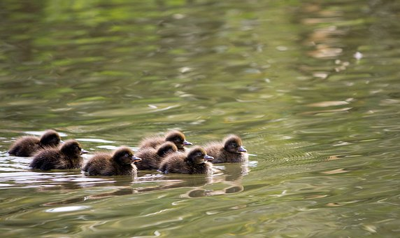 Ducklings, Duckling, Duck, Ducks, Pochard, Pochards