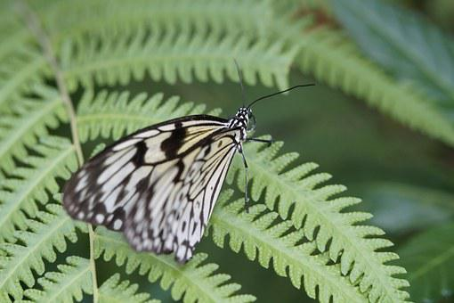 White Baumnymphe, Butterflies, Butterfly, Exotic, Exot