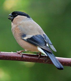 Bullfinch, Song Bird, Bird, Garden Bird, Female