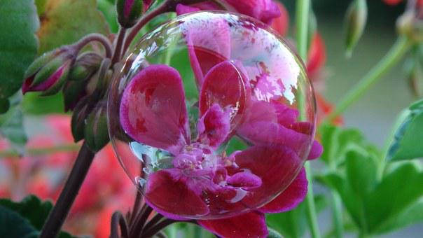 Bubble, Flower, Red, Geranium Hanging