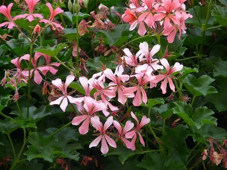 Geranium, White, Pink, Pelargonium Peltatum Hybrid
