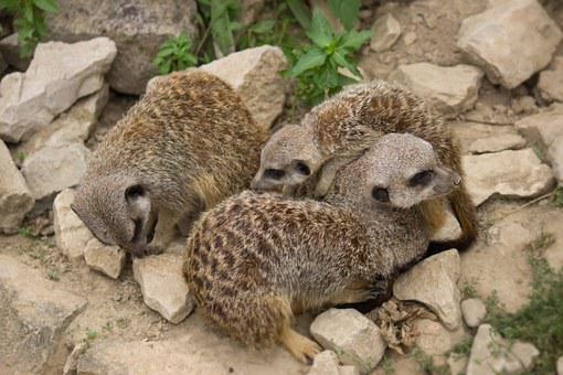 Meerkat, Family, Young Animals, Snuggle, Group