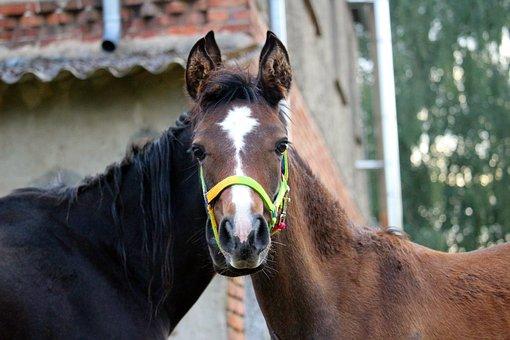 Horse, Foal, Thoroughbred Arabian, Brown Mold, Rap