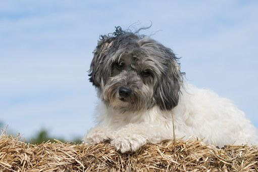 Dog, Lowchen, Löwchen, Straw, The Dog Breed