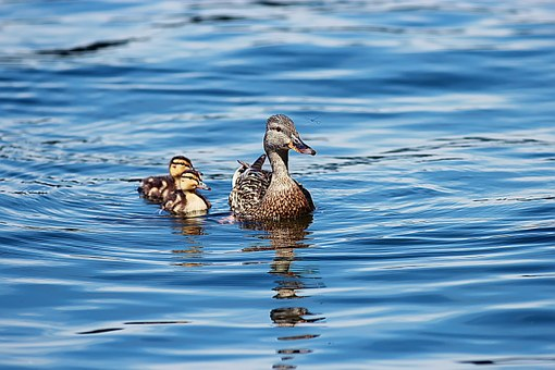 Ducklings, Duck, Babies, Lake, Water, Young, Mother