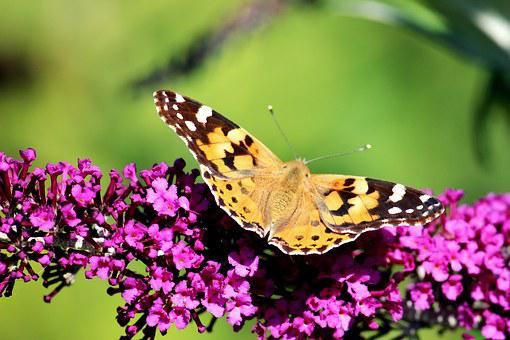 Butterfly, Buddleja Davidii, Nature, Purple, Diurnal
