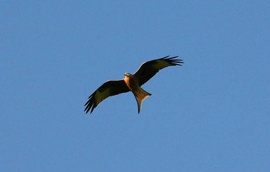 Bird Of Prey, Bird, Raptor, Red Kite, Feather, Head