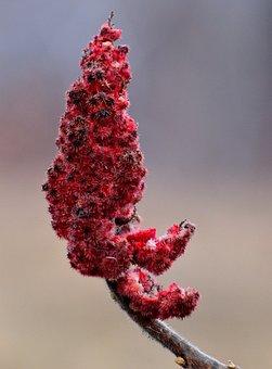 Sumac, Plant, Nature, Shrub, Close-up, Red, Winter
