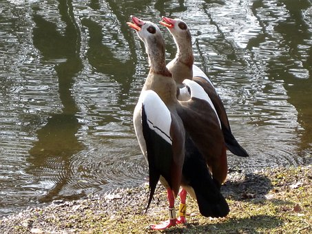 Egyptian Geese, Goose, Birds, Pond, Water, Reflections