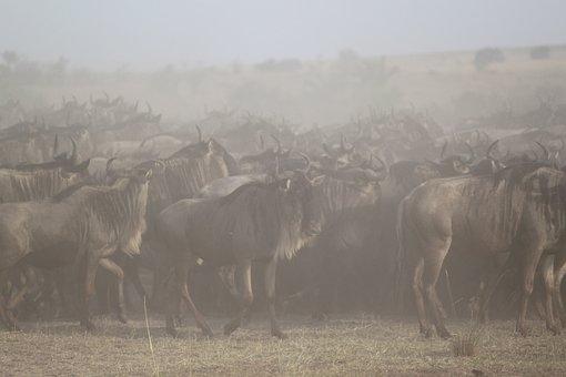 Great Migration, Africa, Safari, Serengeti, Wildebeest