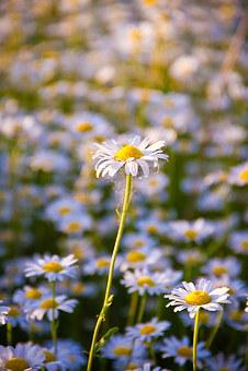 Daisy, Summer, Flower, White, White Flowers, Closeup