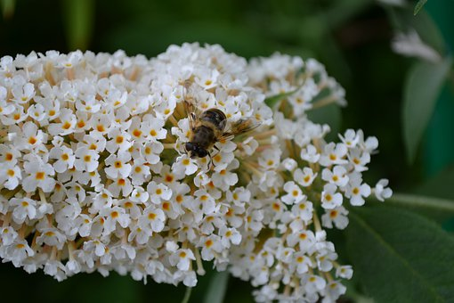 Buddleia, Buddleja, White, Flower, Close-up, Sweet