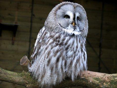 Barn Owl, Animals, Bird, After Active