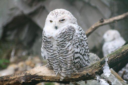 Barn Owl, Owl Baby, Young, Zoo, Animals, Bird