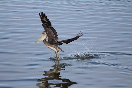Pelican, Bird, Brown, Waterbird, Shorebird, California