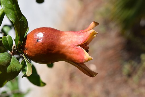 Pomegranate, Bud, Mediterranean, Close, Pomegranate Bud