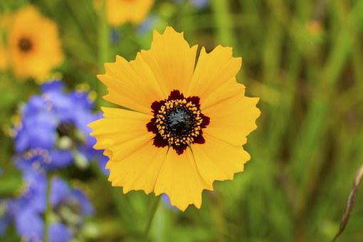 Coreopsis Basalis, Wildflowers, Mothers Day, Nat