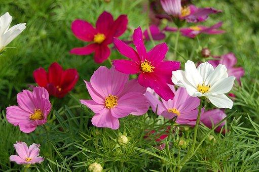 Cosomos, Annuals, Mixed Colors