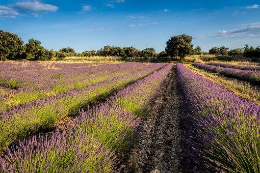 Levandula, Field, Purple, Levandulové Field, Country