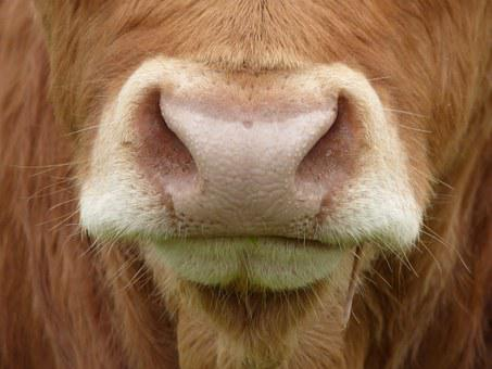 Cows Nose, Cow, Mammal, Farm Animal, Beef, Oxen, Cows