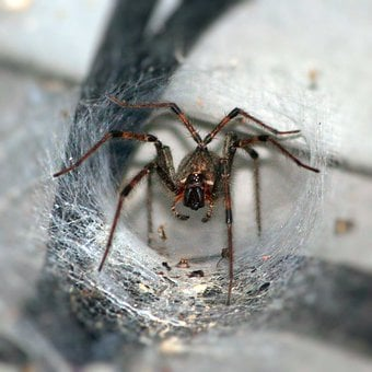 Funnel Spider, Arachnophobia, Arthropod, Fangs, Insect