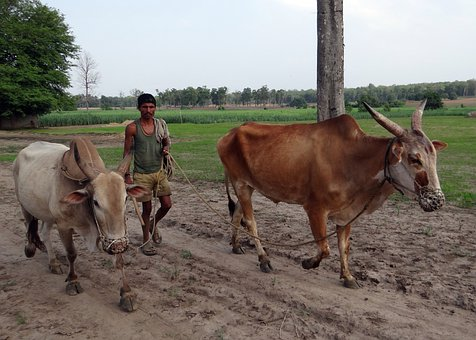 Oxen, Unyoked, Gagged, Farmer, Countryside, Karnataka