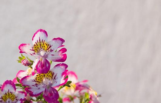 Bauernorchidee, Balcony Plant, Pink, White, Flowers