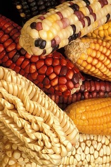 Corn, Modified, Genetically, Vegetables, Plants, Flora