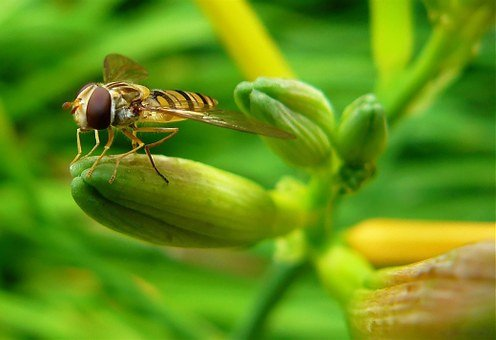 Hover Wasp, Hoverfly, Insect, Insect Macro, Nature