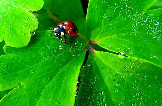 Ladybug, Insect, Nature, Animals, Fauna, Macro, Close