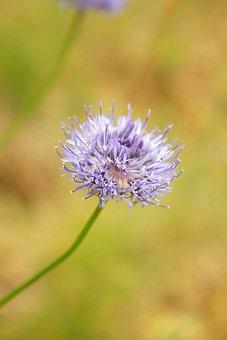 Jasieniec Sand, Flower, Field, Nature, Plant, Green