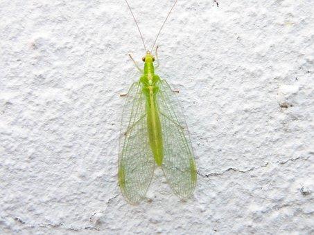 Lacewing, Chrysopidae, Goldaugen, Neuroptera