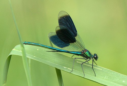Dragonfly, Shiny, Insect, Close, Wing-smooth, Leaf