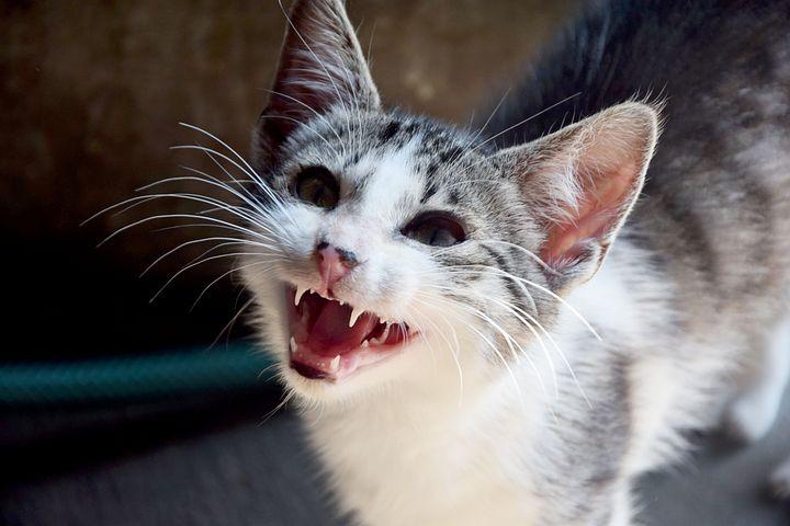Cat, Animals, Domestic Cat, Look, Fangs, Pet