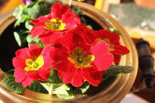Petunia, Red, Flowers, Garden Petunia, Balcony Plant