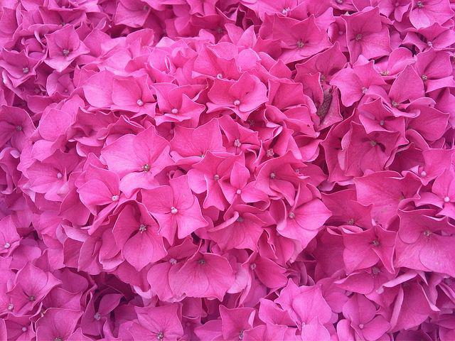 Flower, Hydrangea, Hortenzia, Pink, Color Frenzy
